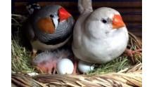 Как правильно разводить птиц Амадины