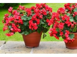 Как ухаживать за вечно цветущей бегонией дома