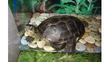 Содержание болотной черепахи дома и советы по ее кормлению