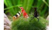 Как и чем кормить аквариумных креветок