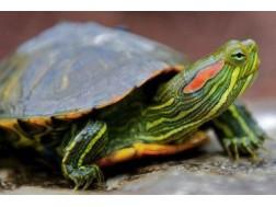 В чем может быть опасность содержания дома черепахи
