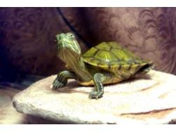 До каких размеров может вырасти красноухая черепаха