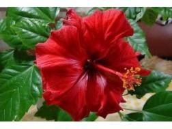 Почему гибискус или китайскую розу называют цветком смерти?