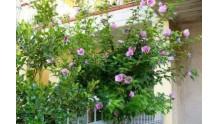 Особенности размножения и ухода за гибискусом садовым