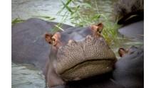В чем отличия бегемота от гиппопотама?