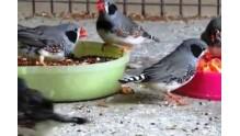 Правила и особенности кормления птицы Амадина