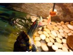 Как правильно кормить красноухих черепах в домашних условиях