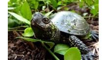 Чем питаются болотные черепахи