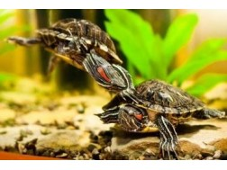 Все об уходе, кормлении и разведении красноухой черепахи