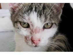 Как определить и вылечить вовремя заболевание лишаем у кошки
