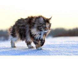 До каких размеров вырастает кот мейн-кун. Описание породы