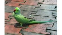 Что влияет на продолжительность жизни ожереловых попугаев?