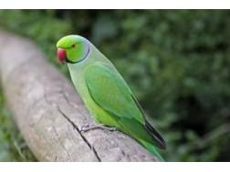 Как ухаживать за ожереловым попугаем чтобы он прожил дольше