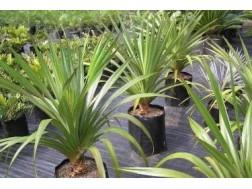 Как правильно ухаживать за комнатным растением Панданусом