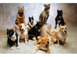 Основные отличия и сходства собак питбуль и стаффорд
