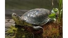 Кратко об особенностях питания речной черепахи