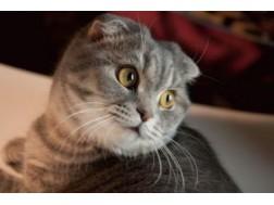 Как содержать и ухаживать за шотландской вислоухой кошкой