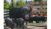 Все что нужно знать заводчикам вьетнамских вислобрюхих свиней