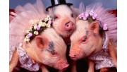 Какого цвета будет свинья или кабан в 2019