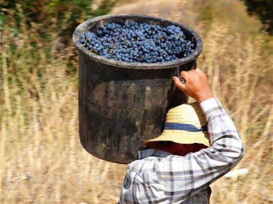 собрать урожай винограда