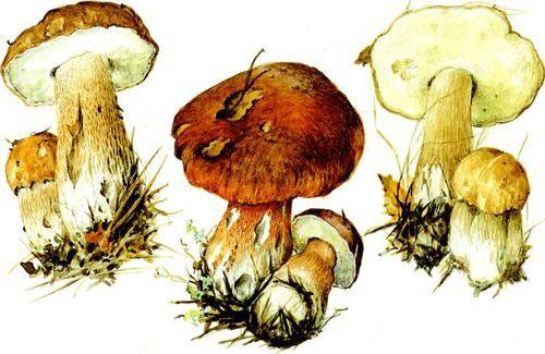 рисунок белых грибов