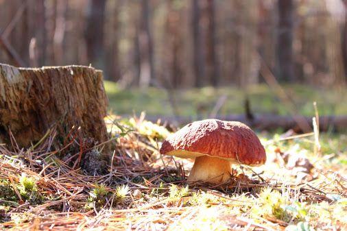 белый гриб растет под пеньком