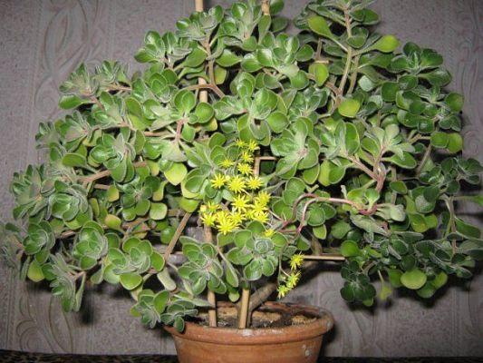 Дерево счастья цветок комнатный как ухаживать