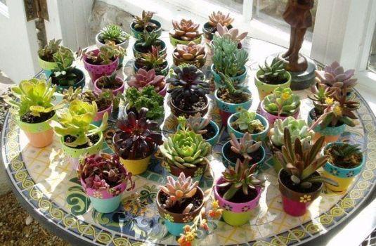 много цветков аихризона