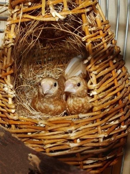 в гнезде с яйцами