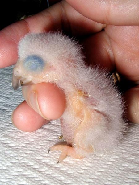 птенцы новорожденные