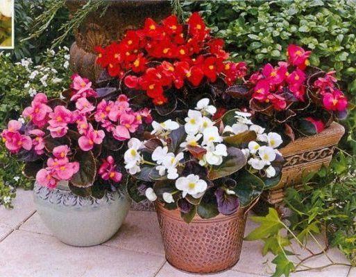 Бегония вечноцветущая и уход в домашних условиях