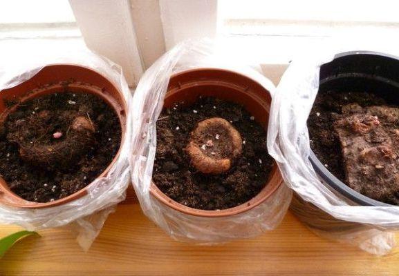 выращивание из клубней