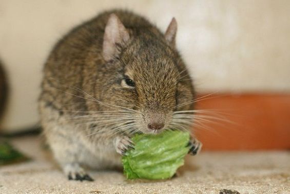 ест цветную капусту