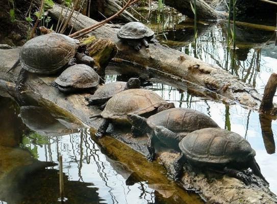 болотные черепахи греются