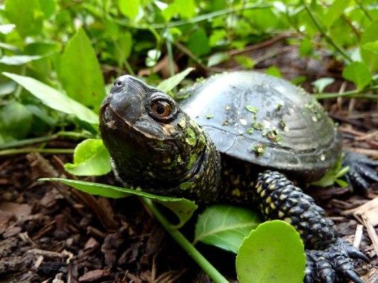 любопытная черепаха из болота