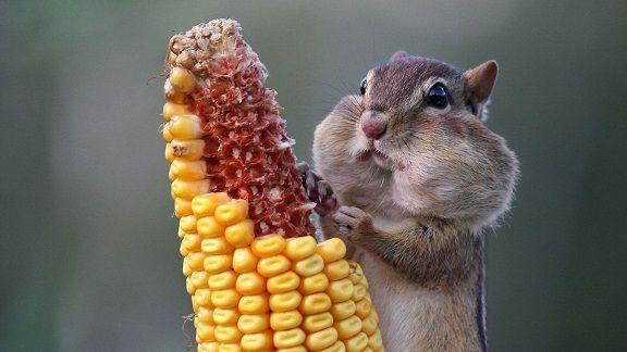ест кукурузу