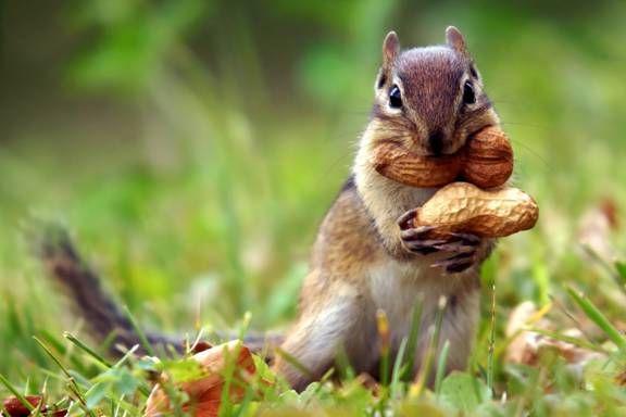 бурундук ест орех