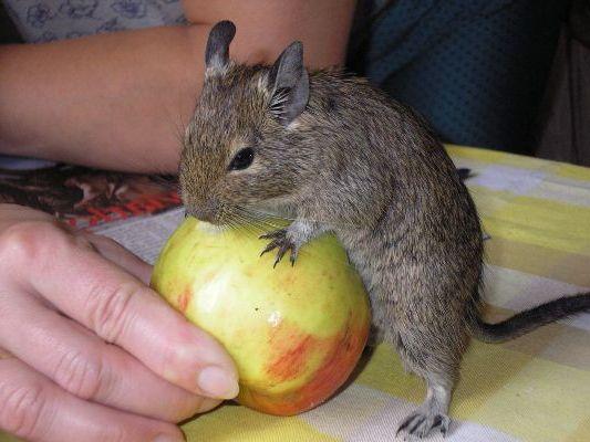 любит яблочко