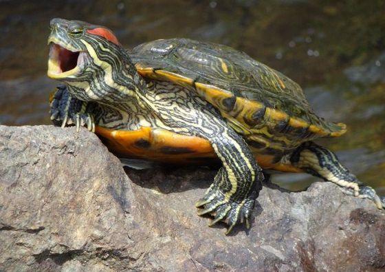 опасная черепаха