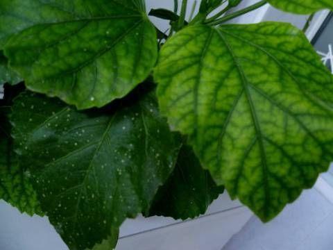 листья гибискуса