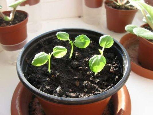 появление ростков