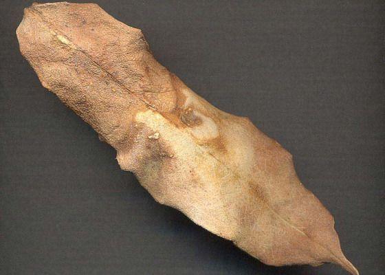 коричневый лист долларового дерева