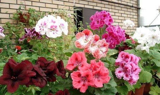 цветение садового гибискуса