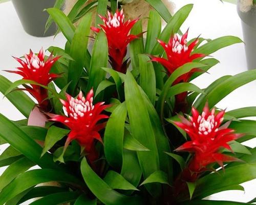 красивые цветки гузмании