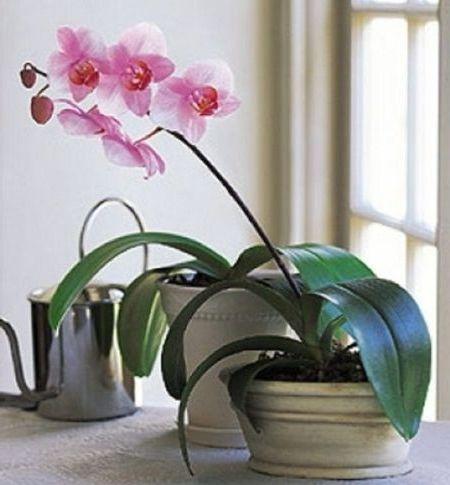 орхидея снова зацвела