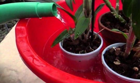 купание орхидеи