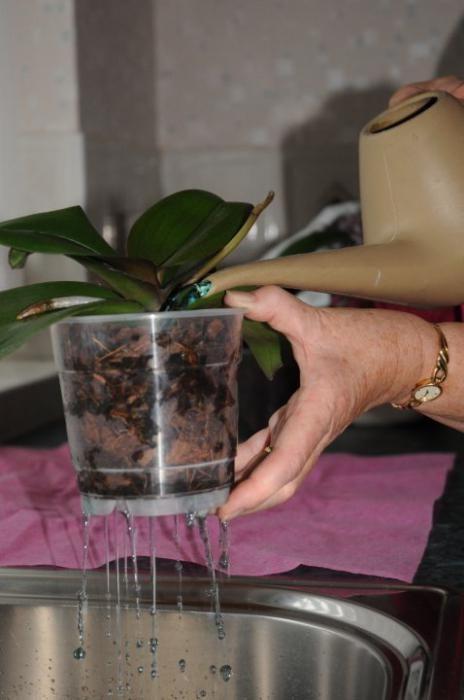 Как часто поливать за орхидеей в домашних условиях