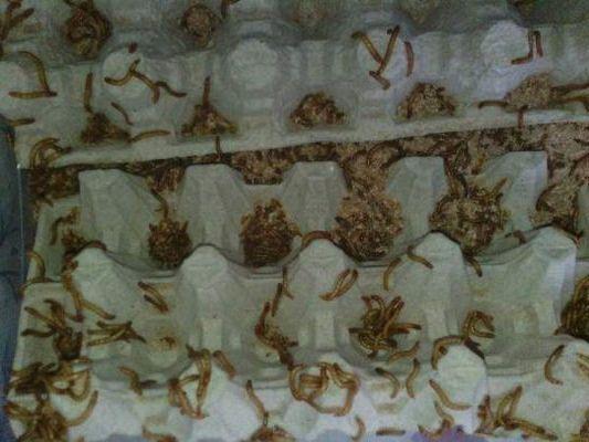черви амадинам