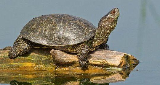 болотная черепаха на бревне