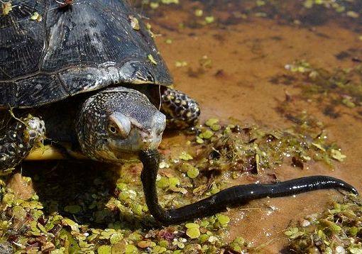 живой корм для черепахи